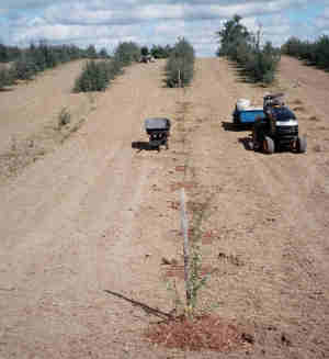 Newly planted Sea buckthorn produced from runners (in foreground). This picture was taken in mid September 2005 near Wingham, ON. The summer's buckwheat cover crop had been ploughed under and rye grass planted between rows.