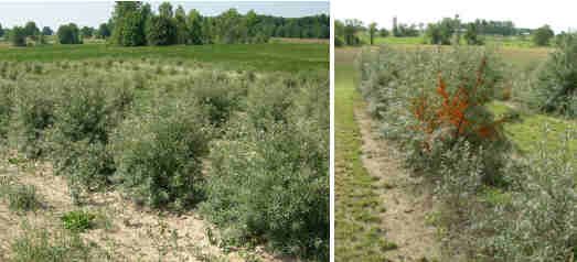 Left Panel: Three year old sea buckthorn trees near Wingham, ON (2005). Right Panel: Four year old trees from the same orchard (2006)