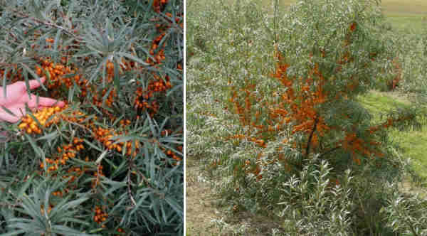 Berry yield from 3 year old sea buckthorn trees (left picture). Maximum fruit set occurs in trees 4 years and older (right picture).