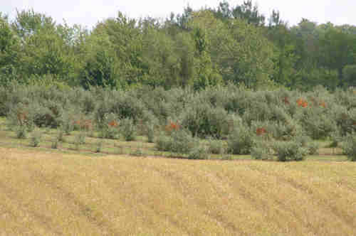 Four year old sea buckthorn orchard as seen from 200 metres. Note the abundance of berries, each of which is no more than 2 cm in length.
