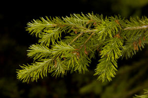 Feeding damage on Douglas Fir does not cause galling, but chlorosis and twisting of new needles.