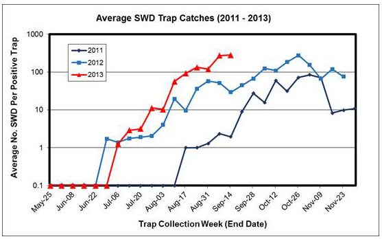 This graph shows the average number of SWD flies per positive trap