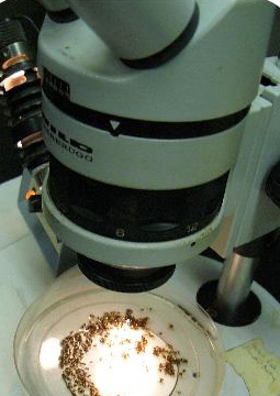 Figure 4: Using a microscope to identify SWD