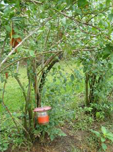 Figure 3: Trap hanging from stake in blueberry row