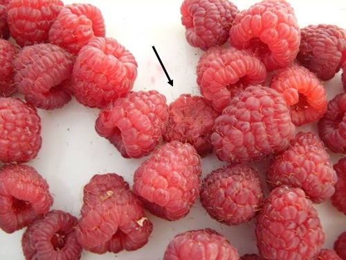 Infected raspberries have poor shelf life and quickly collapse.