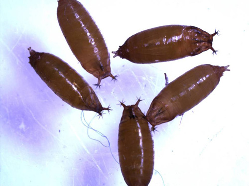 Figure 6: Pupae: 3 mm long, brown, football-shaped, and have two stalks with small finger-like projections on one end