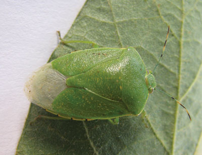 Tarnished Plant Bug and Other Stinging Insects