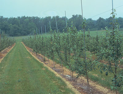 Figure 4-190. Properly maintained herbicide strips, just wider than the tree's drip line, eliminate weed competition