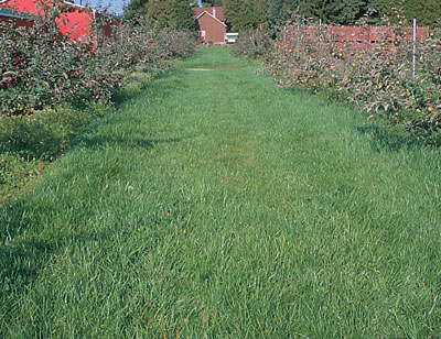 "Figure 4-181. A well-established orchard sod with minimal weed growth - allowing weed growth in herbicide strips late in the season may help trees ""shut down"" for winter"