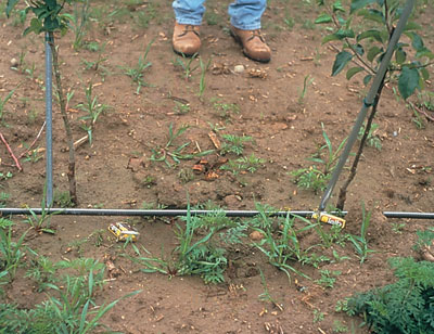 Figure 4-182. Early weed escapes in the planting year compete with young trees for moisture and nutrients - the addition of water through irrigation (note irrigation tubing) allows trees to tolerate more weed competition