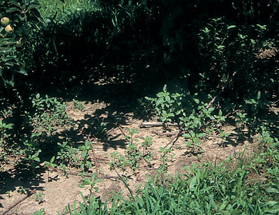 Figure 4-184. In many orchards, pigweed is a challenging weed, which often escapes after simazine is applied