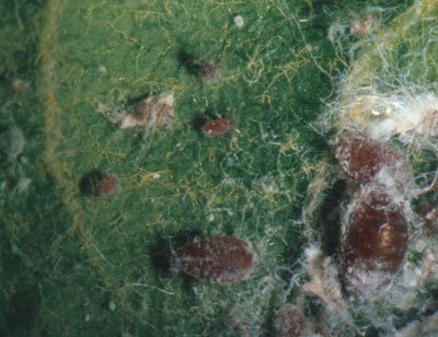 Figure 4-20. Woolly apple aphid nymph