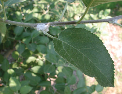 Figure 4-21. Terminal infested with woolly apple aphid