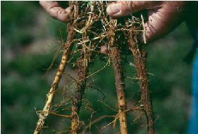 Three-year-old alfalfa plant showing severe rot of the tap and secondary roots caused by brown root rot. Note the dark brown to black discoloration of the lower plant crown and upper root. Photo and description courtesy of University of Wyoming.