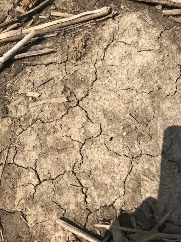 Figure 3. This bare part of a clay loam field has crusted.