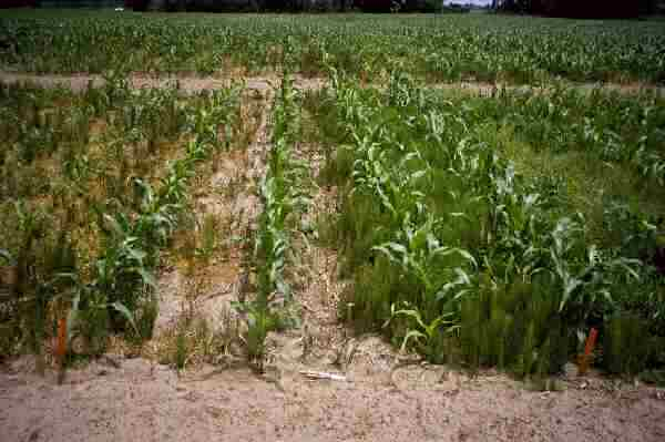 Control of Field Horsetail in Corn using Ultim + Distinct