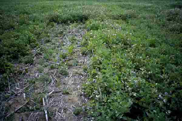 Control of Horse-nettle on soybean using Blazer