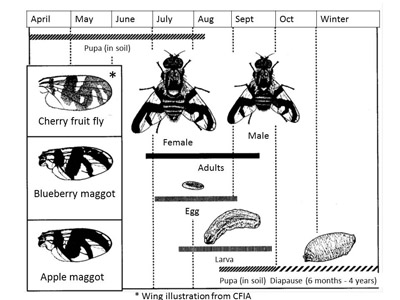 Figure 3: Blueberry maggot life cycle. Wing patterns of similar species are shown
