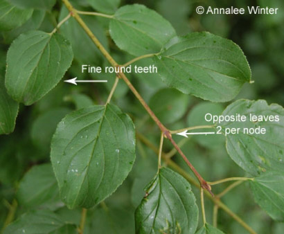 Figure 1. Common buckthorn leaf characteristics
