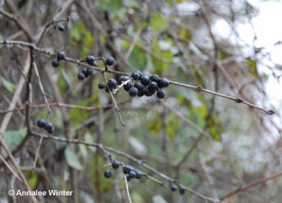 Figure 3. Common buckthorn berries