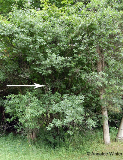 Figure 4. Common buckthorn in field margin understory