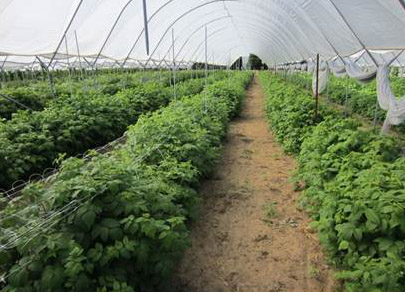 Organic raspberry production under high tunnels
