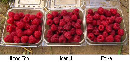 Photo showing raspberry fruit  varieties - Himbo top on the left, Joan J in the middle and Polka on the right.