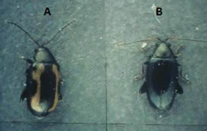 igure 1. Striped flea beetle (A) and crucifer flea beetle (B) adults