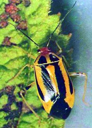 Figure 2. Four-lined plant bug adult.