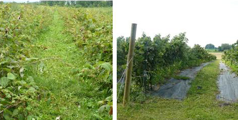 Figure 2: Crop management can affect SWD damage. Although total yields might be higher in the planting on the left, SWD will be easier to manage in the field on the right, where trellising is used to facilitate harvest. Landscape fabric as a ground cover can help desiccate fallen fruit.