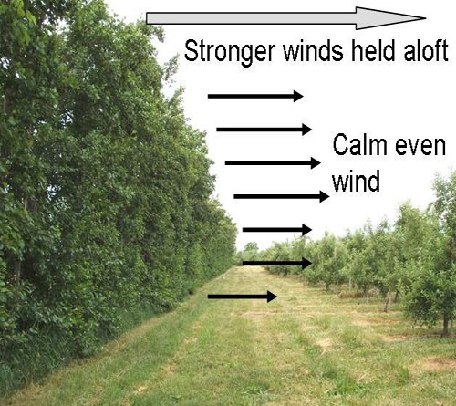 Figure 1. A properly designed windbreak will allow adequate air circulation in the crop, while diverting strong damaging wind up and over the windbreak tree row.