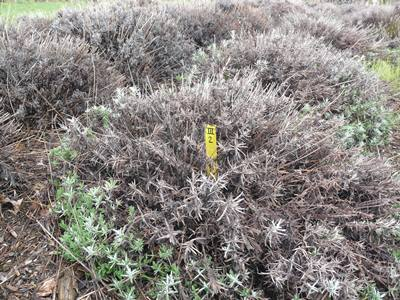 Dealing With Winter Damage In Lavender