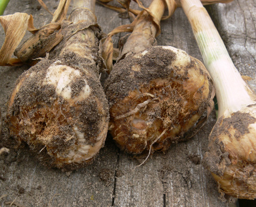 Figure 1 . Garlic bulbs severely infested with stem and bulb nematodes.