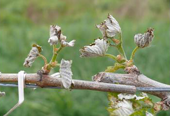 Figure 2. Frost damage on primary shoots of grape vines.