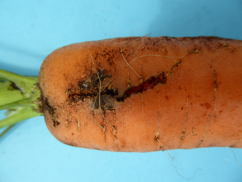 Fig 1. Carrot weevil damage