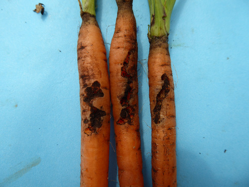 Fig 2. Carrot weevil larvae feeding damage on young carrot roots