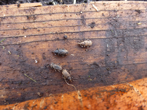 Fig 4. Carrot weevils in trap