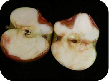 Figure 5. Bitter rot has a diagnostic V-shape rot progressing towards the core.