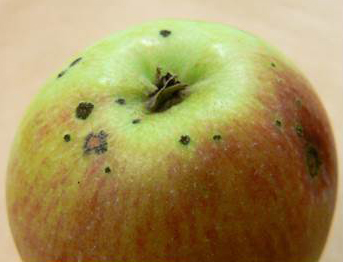 Dealing with pre-harvest and storage diseases in apples