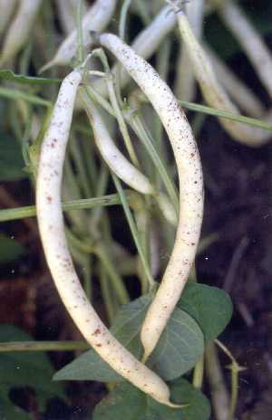 Symptoms of Black pod spot on a yellow snap bean variety.