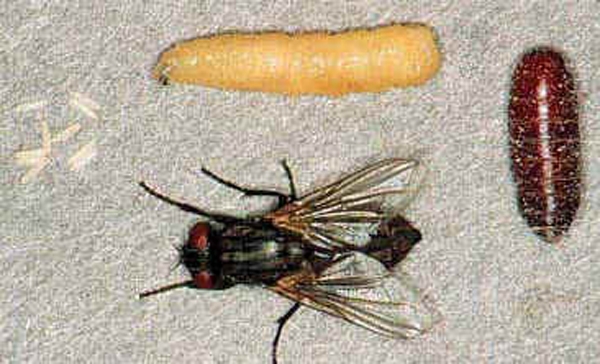 Fig.3 Life Cycle of the Common House Fly