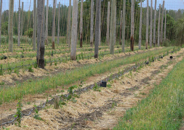 Straw mulch around young hop plants.