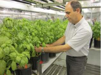 Figure 1: Dr Reza M. Ardakani evaluating basil plants grown in a worm casting and peat-based media for organic greenhouse production systems