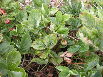 Figure 1: Wrinkled and distorted leaves of strawberry caused by cyclamen mites.