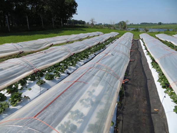 Low tunnel organic strawberry production systems used by the University of Minnesota research team.