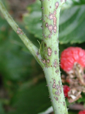Anthracnose disease on raspbery primocane