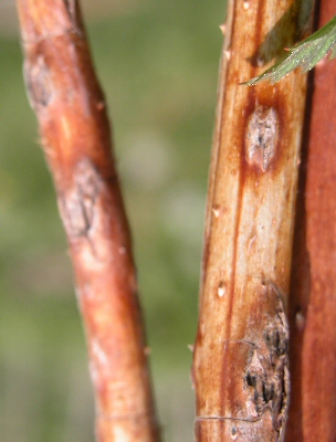 Anthracnose on overwintering fruiting cane