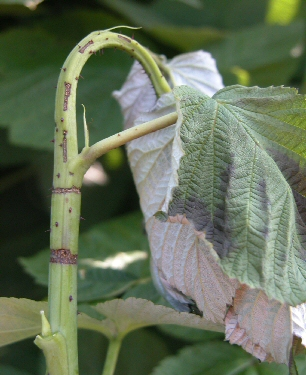 Symptoms of raspberry cane borer