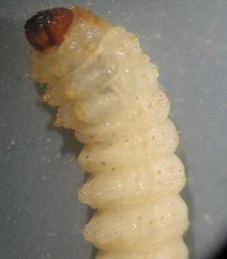 Raspberry crown borer larvae close-up