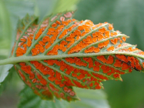 Orange rust on blackberry leaf